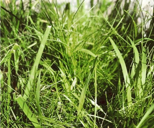 Shade tolerant grasses