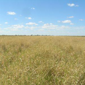 Low Sugar pasture