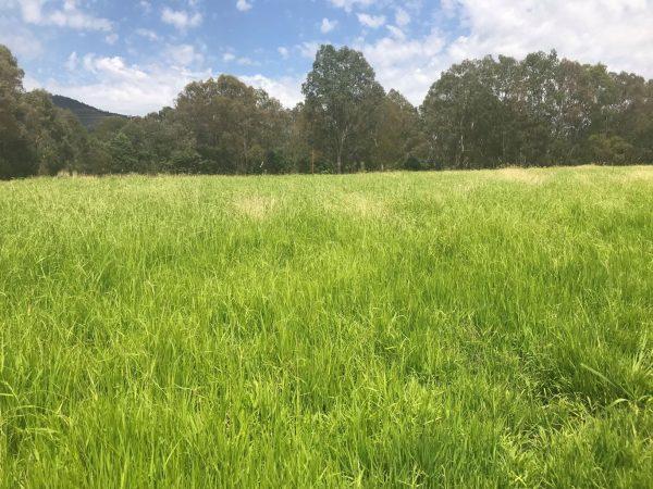 Burra Weeping grass