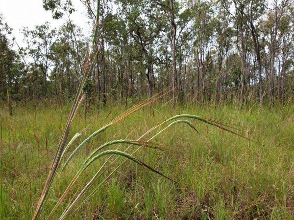 Giant Spear grass